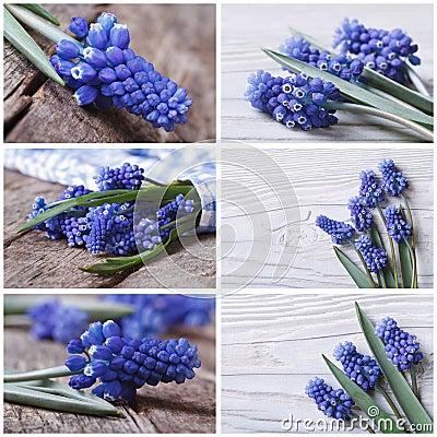 Set of photo beautiful blue muscari flower Stock Photo