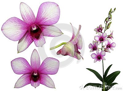 Set of pink orchids
