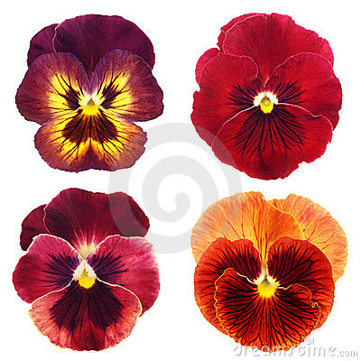 Set of red pansy