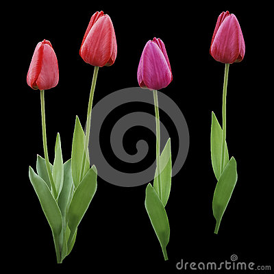 Free Set Red  Pink  Purple Tulips. Flowers On The Black Isolated Background With Clipping Path.  Closeup.  No Shadows.  Buds Of A Tulip Stock Images - 93280174