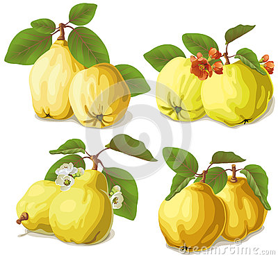 Set of ripe quinces