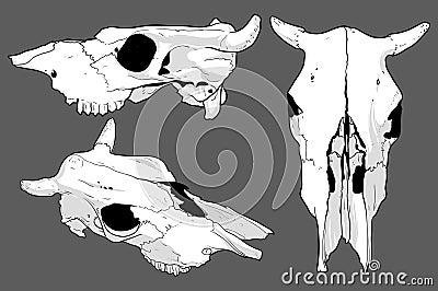 Set of skulls cow