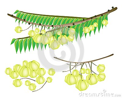 Set of Star Gooseberry on White Background