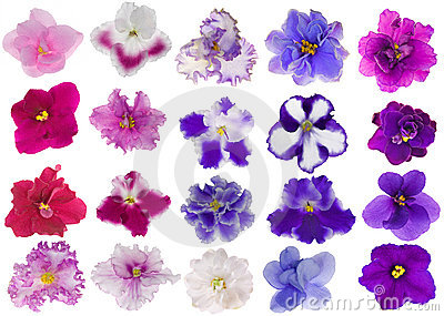 Set of twenty isolated violets