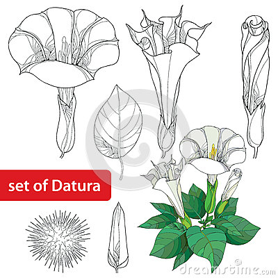 Free Set With Datura Stramonium Or Thorn Apple. Poisonous Plant. Flower, Leavs, Bud And Fruit  On White Background. Royalty Free Stock Images - 66905609