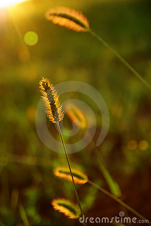 Setaria in sun-light