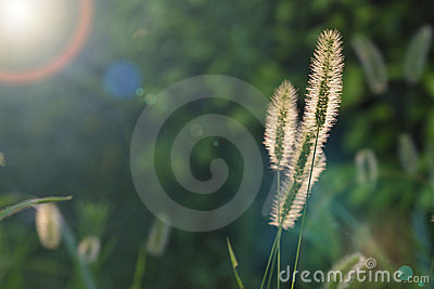 Setaria viridis  grass in the glare of the sunset