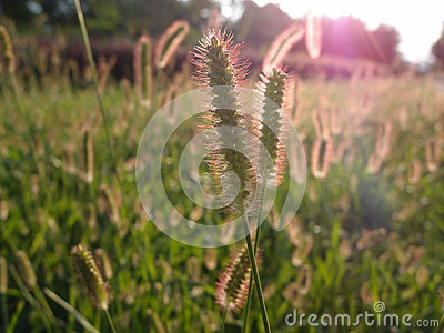Setaria viridis grass in the glare of the sunset
