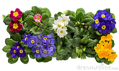 A sets of Primulas from above