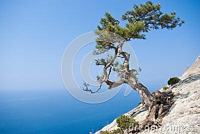 seul-arbre-de-sapin-au-bord-de-la-falais