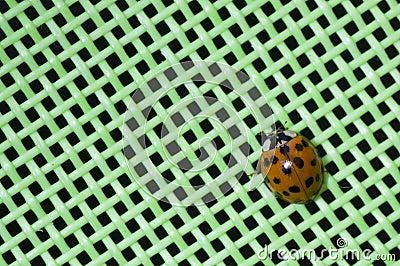 A seven dot ladybug