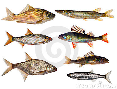 Seven freshwater fishes collection