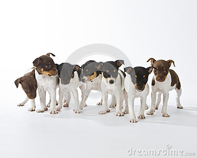 Seven Rat Terrier Puppies