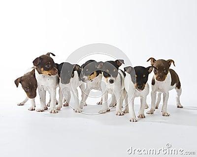 Seven Rat Terrier Puppies