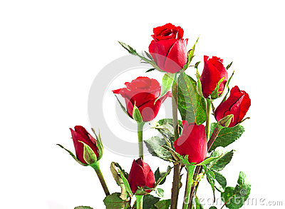 Seven red valentine rose isolated on white