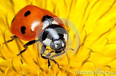 Closeup of Seven-spot Ladybird or Ladybug