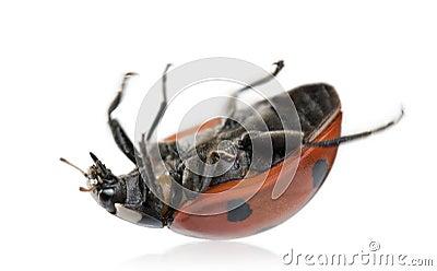 Seven-spot ladybird or ladybug
