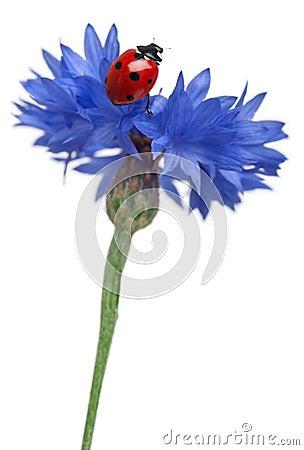 Seven-spot ladybird or seven-spot ladybug