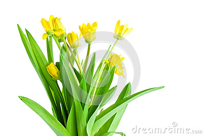 Seven Yellow spring flowers with green leaves