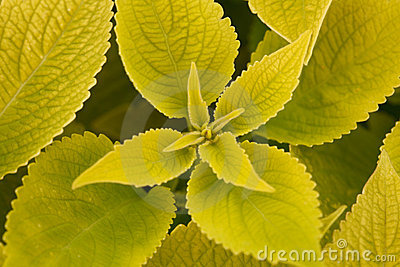 Several green leaf coleus close-up of backlighting