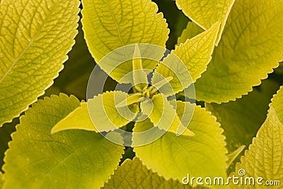 Several green leaf coleus close-up of backlighting