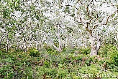 Several koala bears resting in gum trees