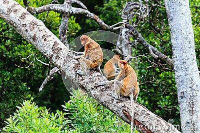 Several Proboscis Monkeys in a tree