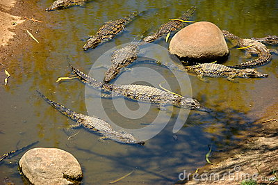 Several small crocodiles