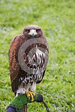 Sguardo fisso del falco