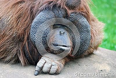 Sguardo fisso dell orangutan