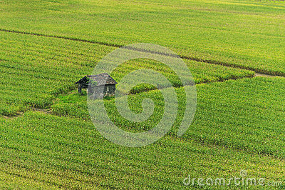 Shack in corn field