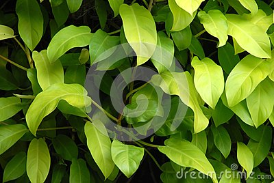 Shade plant