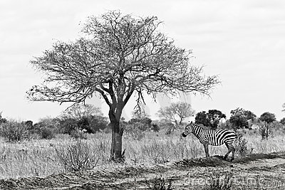 Shade,zebra during a safari in africa, kenya