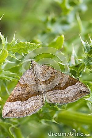 Free Shaded Broad-bar Moth Royalty Free Stock Photos - 26459218