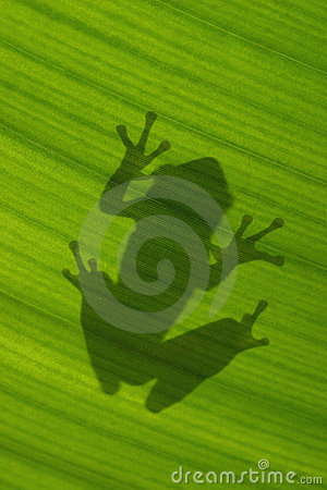 Shadow of Cuban treefrog on backlit green leaf