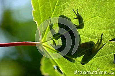 Shadow frog