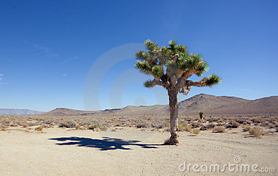 Shadow of the Joshua Tree