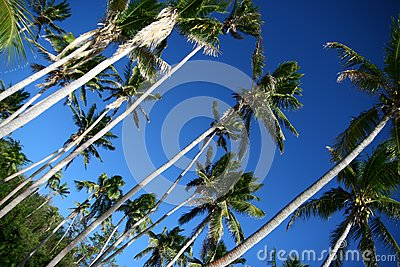 Shady palms in Fiji