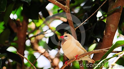 Shaft-tail finch bird