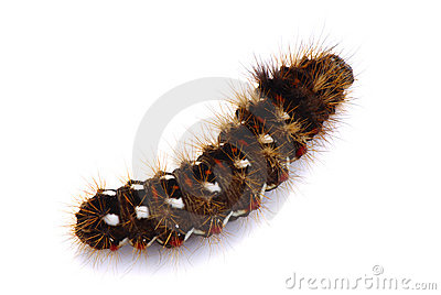 Shaggy caterpillar