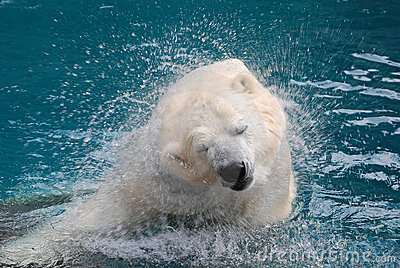 Shaking polar bear 2
