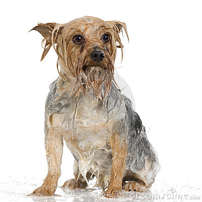 Free Shampoo Dog Royalty Free Stock Photo - 2671365