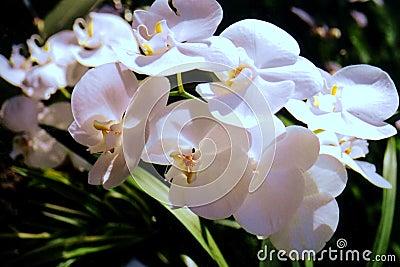 Shamrock Orchids