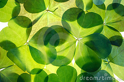 Shamrocks. Detailed background