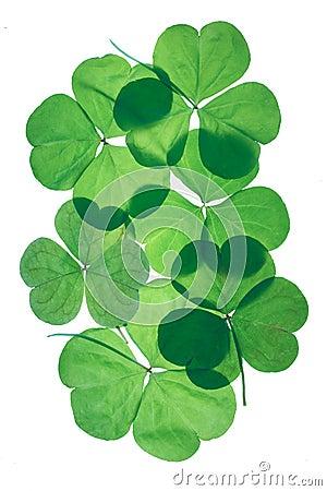 Free Shamrocks. St.Patricks Day Royalty Free Stock Image - 4236036