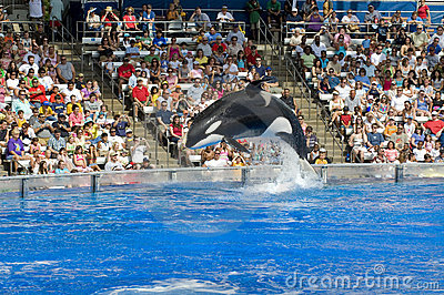 Shamu Killer Whale Editorial Image