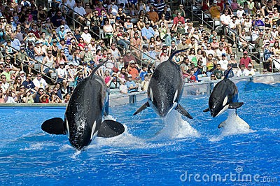 Shamu Killer Whale Family and Baby Editorial Image