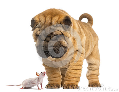 Shar Pei puppy looking down at a Hairless mouse