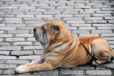 Shar-Pei on the street