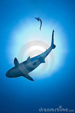 Shark on blue ocean
